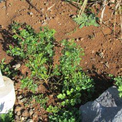 Aangeplant bij de pergola en ook in januari al in de groei